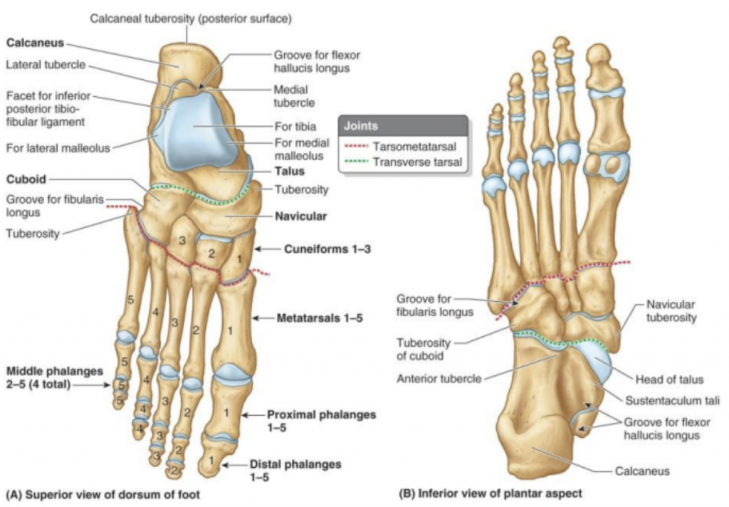 bone and joint diagram of human foot